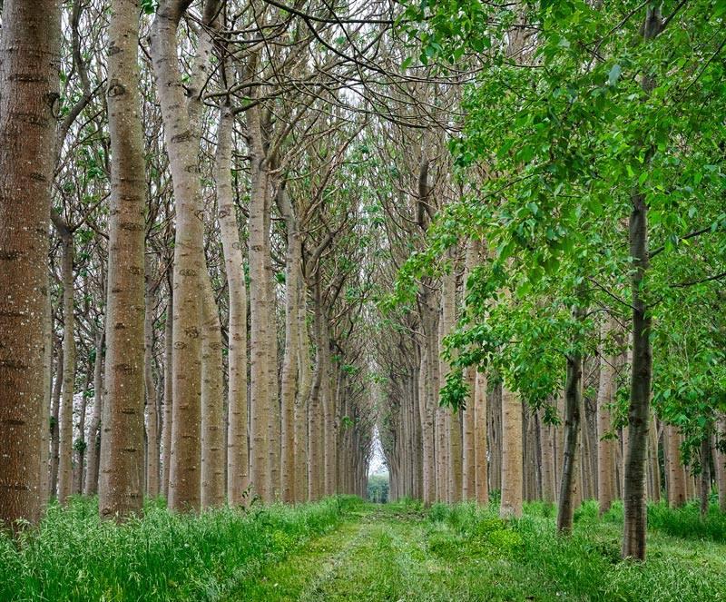 Paulownia Stromy