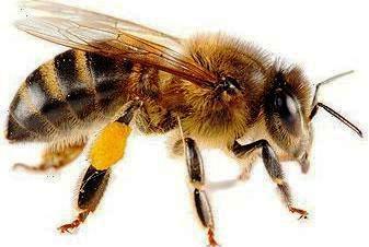 Včelí včiel datovania